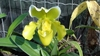 PAPHIOPEDILUM YELLOW - OrquideaShop