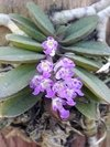 Imagem do Schoenorchis fragrans