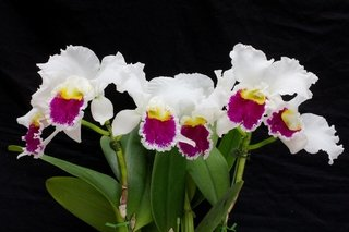 Blc.Pastoral Inoscense x Blc.Mildred Rivers