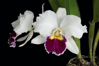 Blc.Pastoral Inoscense x Blc.Mildred Rivers - comprar online