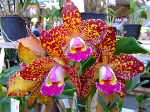 Cattleya Durigan