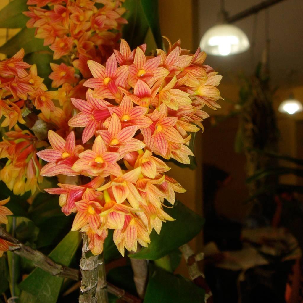 Resultado de imagem para Dendrobium usitae