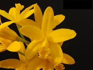 Laelia briegeri