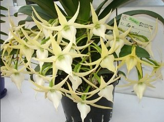 angraecum crestwood 'tomorrow star'