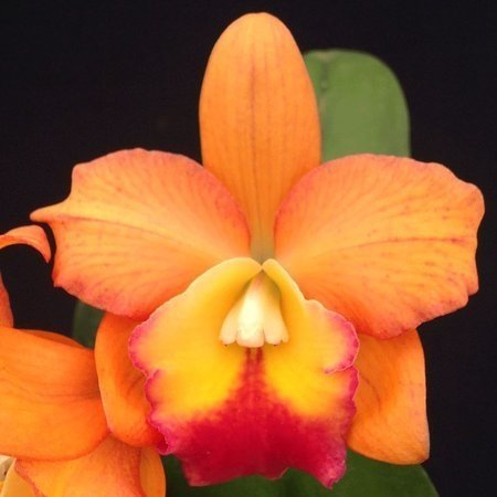 ORQUÍDEA POT WATANA GOLD X CHOCOLATE DROP PRÉ AD