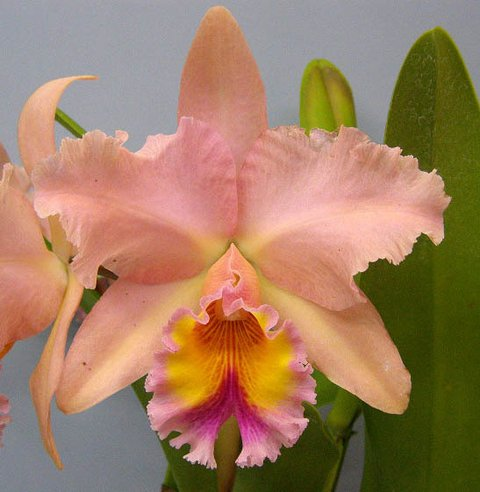 orquídea BLC George King Serendipity Adulta