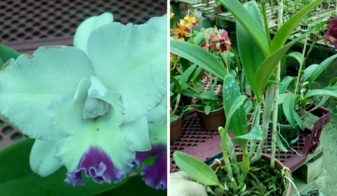 Orquídea Cattleya Blc Angel Hearth Adulta - comprar online