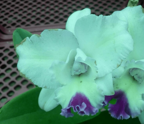 Orquídea Cattleya Blc Angel Hearth Adulta na internet