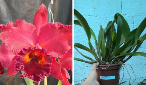 Orquídea Cattleya blc belle of celle x ember glow Touceira