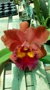 Imagem do Orquídea Cattleya Blc Edisto New Berry x Chunyeah 17 Adulta