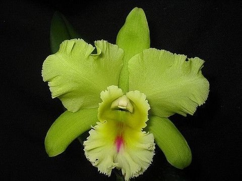 Orquídea Cattleya Blc Magic Meadows Napoleon Adulta na internet