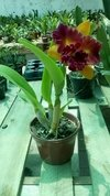 Orquídea Cattleya Blc. Nobile´s Tropical Sunset adulta na internet