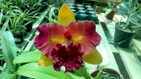 Orquídea Cattleya Blc. Nobile´s Tropical Sunset adulta - Bonsais Orquídeas e Afins