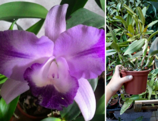 Orquídea Cattleya Blue Boy x Nobiles Blue Sky Adulta