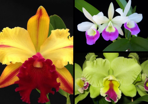 Kit 3 Mudas de orquídeas cattleya (Toshi Aoki + Hawaii Star + Elen BRown) - comprar online