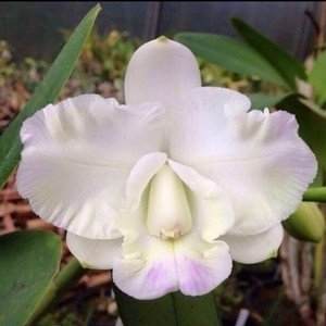 Orquídea Cattleya Hamana Surprise White Bee Adulta - comprar online