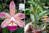 Orquídea LC Cattleya Tropical Pointer Cheetah Adulta