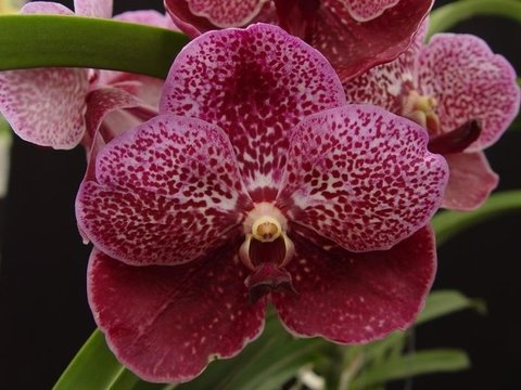 Orquídea Vanda robert delight red Jovem na internet