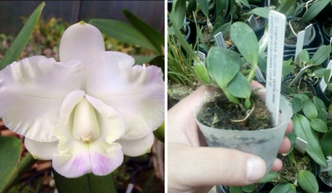 Orquídea Cattleya Hamana Surprise 'White Bee' Jovem