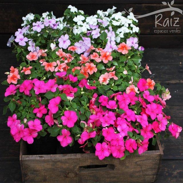 Comprar plantas en vivero raiz filtrado por m s vendidos - Planta alegria del hogar ...