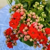 Kalanchoe Love en internet