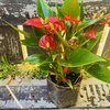 Anthurium Million Flowers