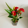 Anthurium Million Flowers vidrio