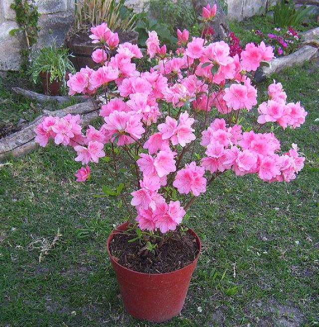 Azalea doble for Flores ornamentales exterior
