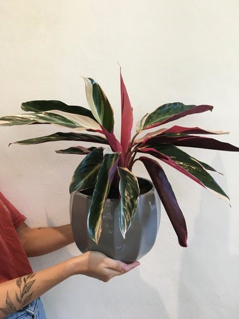 Duo flora big + calathea stromanthe