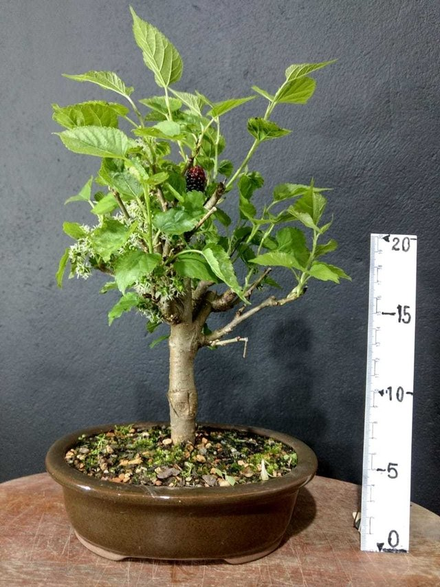 Bonsai de amoreira 3