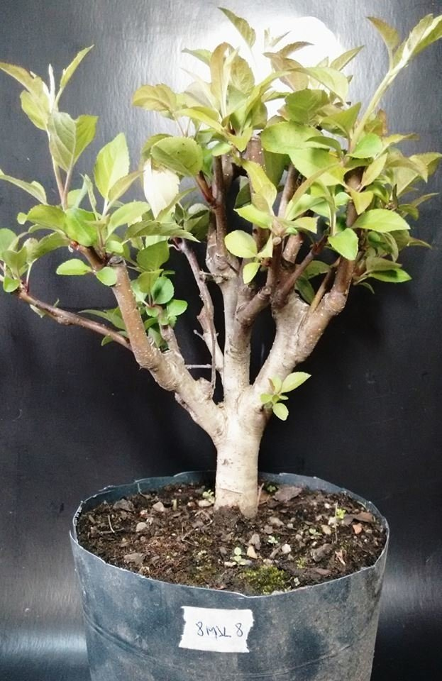 Mini macieira (malus everest) 8 anos