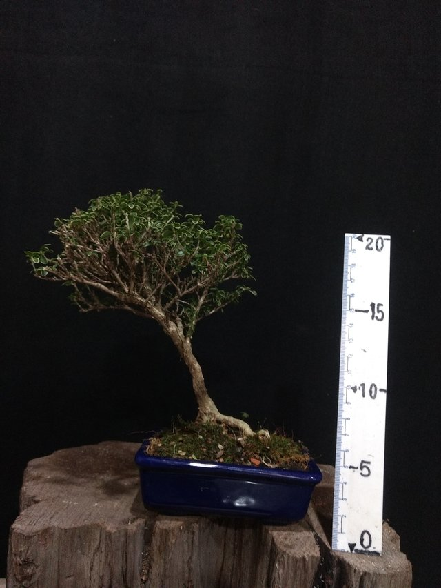 Bonsai Serissa