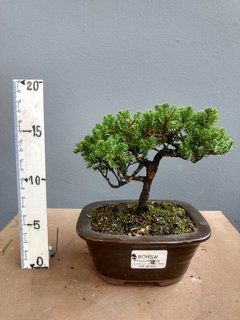 Bonsai de juniperos procumbens de 3 anos