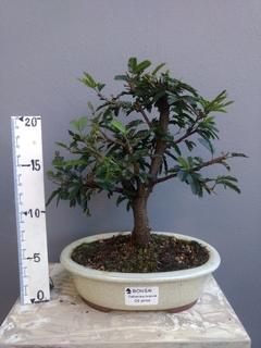 Bonsai de caliandra branca 5 anos