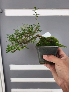 Bonsai de serissa