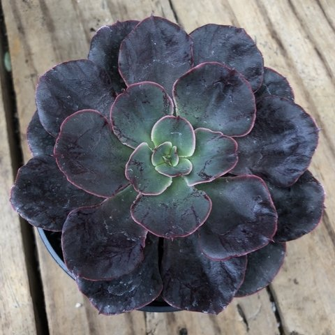 Echeveria Painted Frills