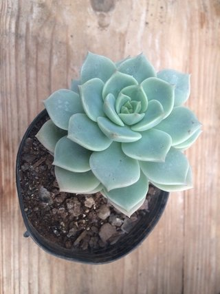09 - Graptoveria Titubans
