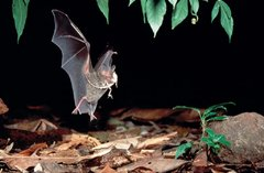 Imagen de Handbook of the Mammals of the World – Volume 9 Bats (IDIOMA INGLÉS)