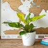 Philodendron Moonlight con Matera Decorativa