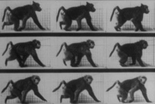Baboon walking (Muybridge) en internet