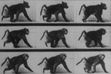 Baboon walking (Muybridge)