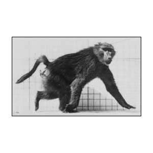 Baboon walking (Muybridge) - comprar online