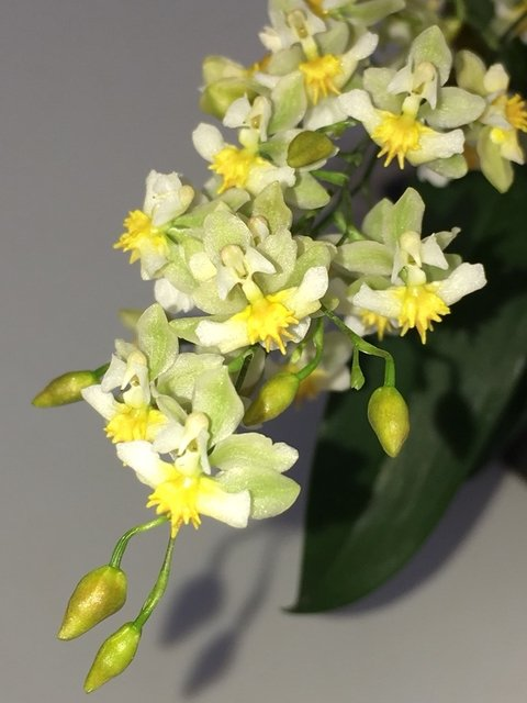 Oncidium Twinkle Fragrance Fantasy