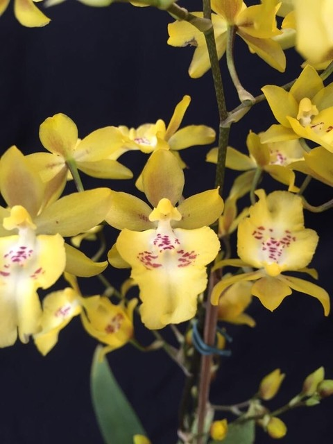 Oncidium Baticidium