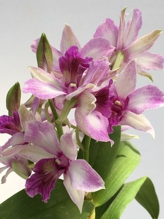 "Dendrobium Emma ""Proud King"""