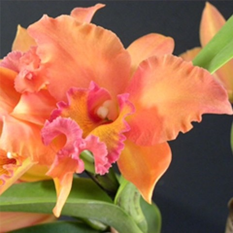 Orquidea Blc Chia Lin new city x Pot love passion Orange bird