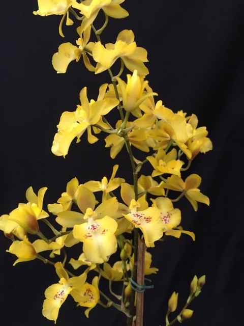 Oncidium Baticidium na internet