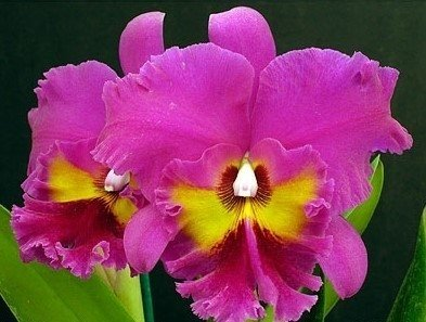 Cattleya Blc. King of Taiwan