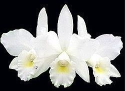 Orquídea Cattleya Julia White