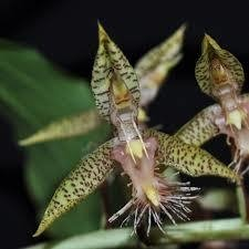 Catasetum gladiatorium